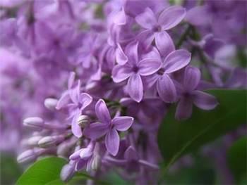 Purple Oleaceae