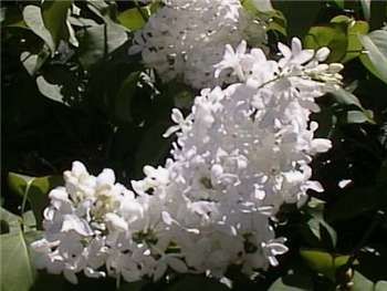 White Oleaceae