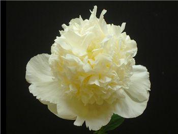 Bridal Shower Paeoniaceae
