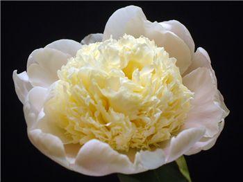 Charles White Paeoniaceae