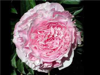 Dresden Pink Paeoniaceae
