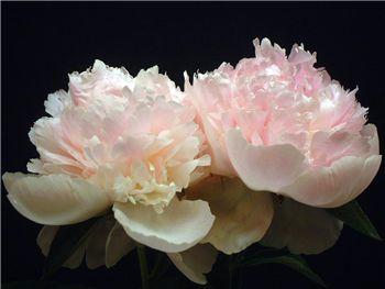 Ferris Petticoat Paeoniaceae