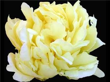 Huang Jin Lun Paeoniaceae