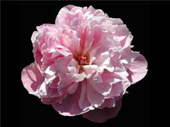 La Tulipe Paeoniaceae