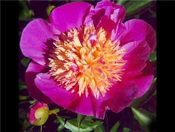 Largo Paeoniaceae