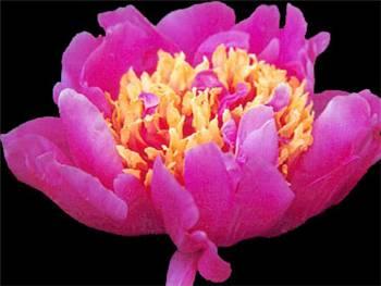 Le Charme Paeoniaceae