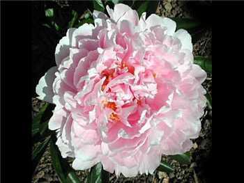 Martha Bullock Paeoniaceae
