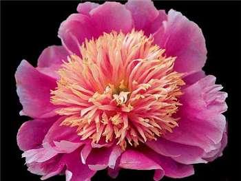 Pink Giggles Paeoniaceae