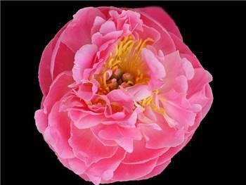 Pink Hawaiian Coral Paeoniaceae