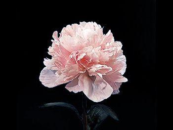 Pink Paeoniaceae