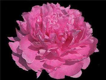 Pink Parfait Paeoniaceae