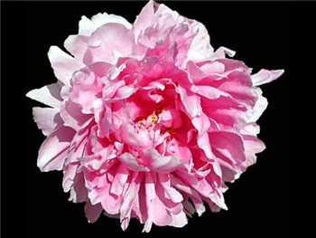 Pink Wonder Paeoniaceae