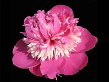 Qi Hua Lu Shuang Paeoniaceae