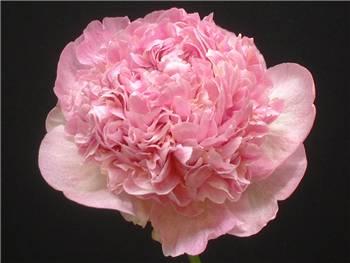 Raspberry Sundae Paeoniaceae