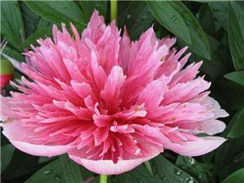 Rosea Plena Paeoniaceae