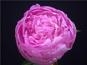 Vivid Rose Paeoniaceae
