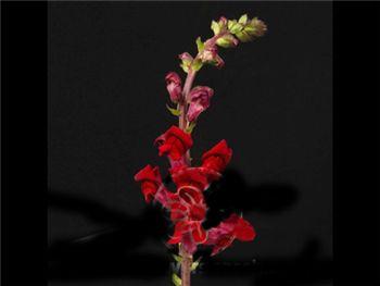 Burgundy Plantaginaceae
