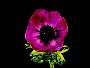 Gali Purple HFC Ranunculaceae