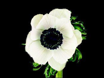 Gali White HFC Ranunculaceae
