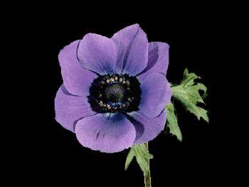 Mona Lisa Blue HFC Ranunculaceae