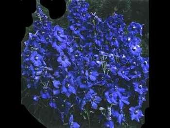 Bella Donna Dark Blue Ranunculaceae