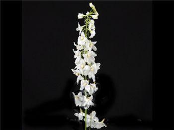 Bella White Ranunculaceae