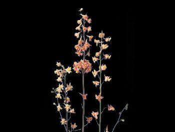 Bev Hills Salmon Ranunculaceae