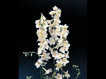 Casa Blanca Ranunculaceae