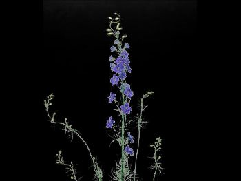 Giant Imperial Blue HFC Ranunculaceae