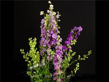 Larkspur Lavender Ranunculaceae