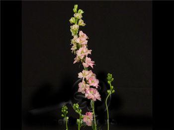 Larkspur Light Pink Ranunculaceae