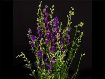 Larkspur Purple Ranunculaceae
