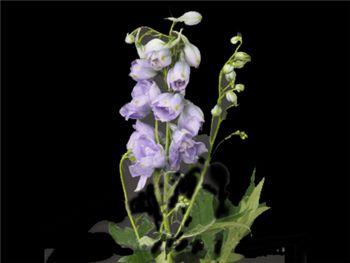 Mauve Ranunculaceae