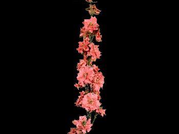 Pink HFC Ranunculaceae