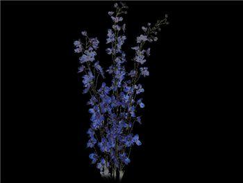 Sea Waltz Ranunculaceae