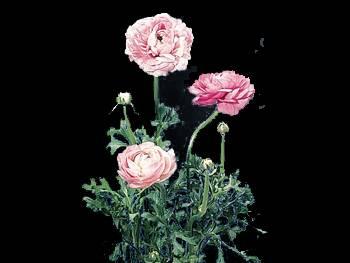 Pink Ranunculaceae