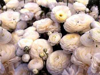 Tecolote Ranunculaceae