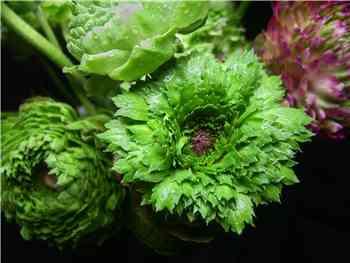 Green Ranunculas