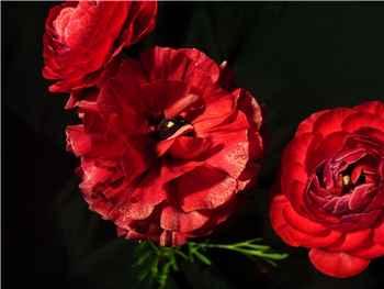 Red Hybrid Ranunculas