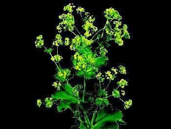 Robustica HFC Rosaceae
