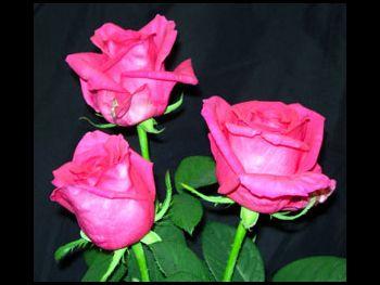 Anouschlca Rosaceae