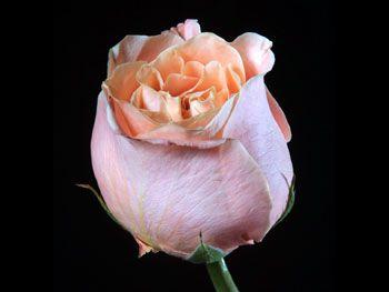 Aphrodite 204 Rosaceae