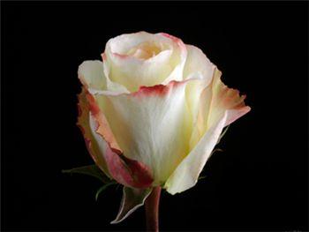 Aubade Rosaceae