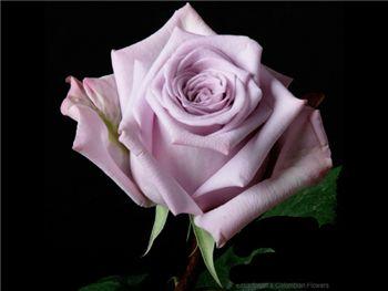 Avant Garde Rosaceae