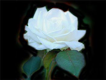Bianca Rosaceae