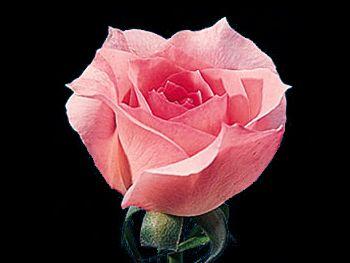 Bridal Pink Rosaceae