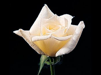 Bridal White Rosaceae