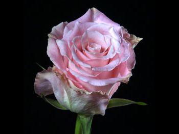 Charming Unique 204 Rosaceae