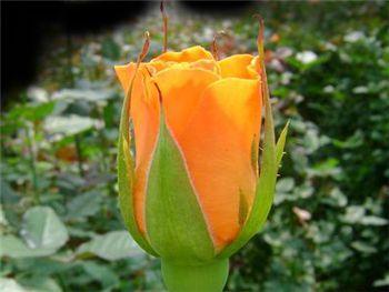 Chelsea Rosaceae