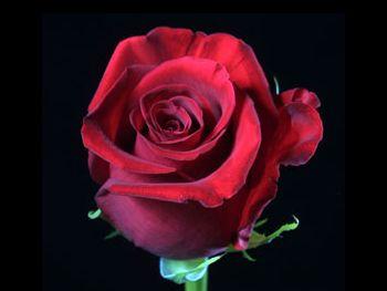 Classy 204 Rosaceae